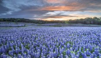 Springtime Bluebonnets, Hill Country, Texas. SMR Group is Recruiting for a Mid-Career Corporate Security Director.
